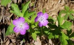 Wild Geranium (Geranium maculatum)