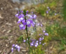Old-field Toadflax (Nuttallanthus canadensis)