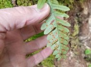 Rock Cap Fern (Polypodium appalachianum) Spores