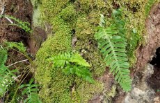 Rock Cap Fern (Polypodium appalachianum)