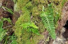 Appalachian Rock Cap Fern (Polypodium appalachianum)