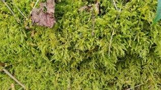 Square Goose Neck Moss (Rhytidiadelphus squarrosus)
