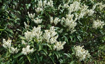 Mountain Fetterbush (Pieris floribunda)