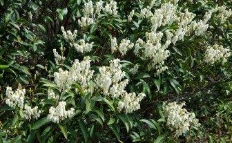 Mountain Fetterbush (Pieris floribunda)