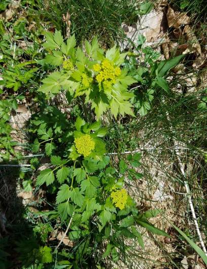 Possibly Hairy-jointed Meadow Parsnip (Thaspium barbinode)
