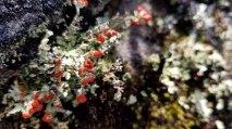British Soldiers (Cladonia cristatella)