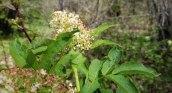 Red-berried Elder (Sambucus racemosa)