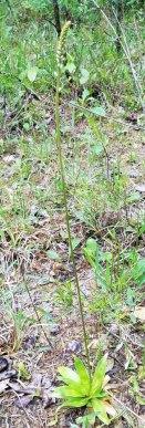 Colic-root (Aletris farinosa)
