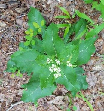 Wild Quinine (Parthenium integrifolium)
