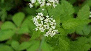 Aniseroot (Osmorhiza longistylis)