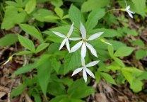 Bowman's Root (Gillenia trifoliata)