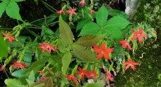 Fire Pink (Silene virginica)