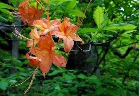 Flame Azalea (Rhododendron calendulaceum) Blooms
