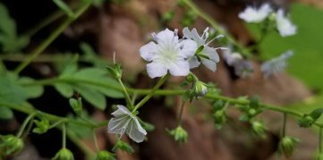 Small-flowered Phacelia (Phacelia dubia)