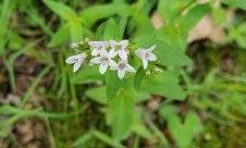 Purple Bluets (Houstonia purpurea)