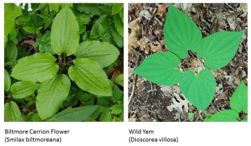 Comparison of Viltmore Carrion Flower & Wild Yam Leaves