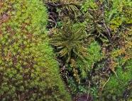 Tree Moss (Climacium sp ) & Apple Moss (Bartramia pomiformis)