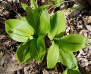 Clinton's Lily (Clintonia umbellulata) in Bud