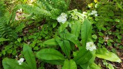 Clinton's Lilies (Clintonia umbellulata)