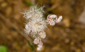 Plantainleaf Pussytoes (Antennaria plantaginifolia)