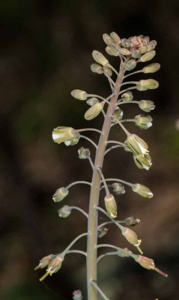Smooth Rockcress (Boechera laevigata)
