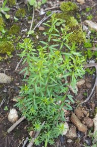 Flaxleaf Whitetop Aster (Ionactis linariifolia)