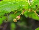 Buckberry (Gaylussacia ursina)