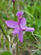 Grass Pink (Calopogon tuberosus)