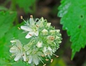 Large-flowered Waterleaf (Hydrophyllum Macrophyllum)
