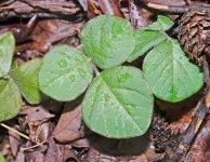 Round Leaved Desmodium (Desmodium rotundifolium)