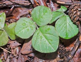 Prostrate Tick-trefoil (Desmodium rotundifolium)