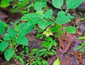 Possibly Virginia Ground-cherry (Physalis virginiana var. virginiana)
