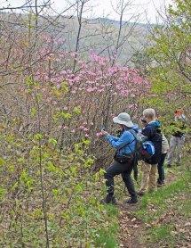 Admiring the Pinkshell Azaleas