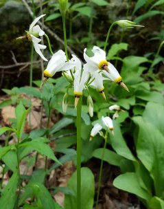 Shooting Star (Dodecatheon meadia)