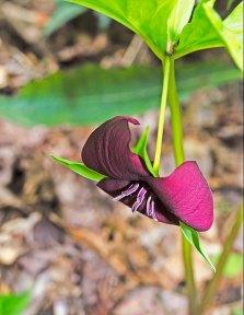 Vasey's Trillium (Trillium vaseyii)