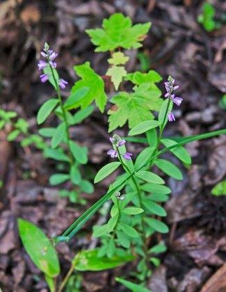 Racemed Milkwort (Polygala polygama)
