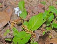 Primrose-leaved Violet (Viola primulifolia Primrose-leaved Violet)