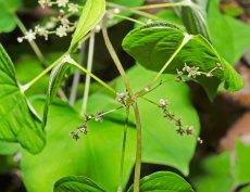 Wild Yam (Dioscorea quaternata)
