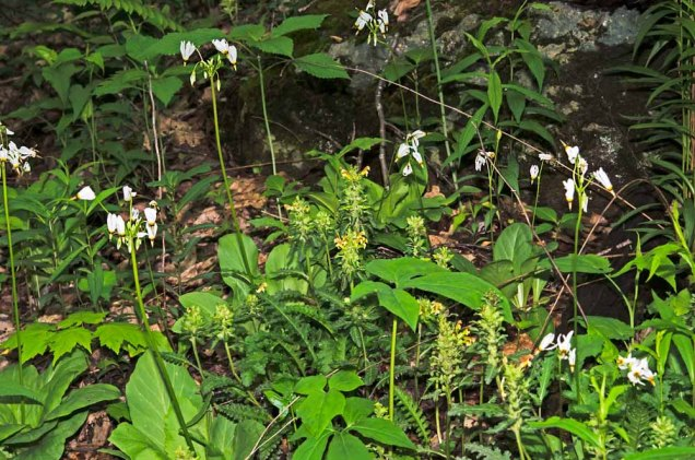 Wood Betony (Pedicularis canadensis) and Shooting Star (Dodecatheon meadia)