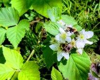 Bees on a Blackberry (Rubus allegheniensis)