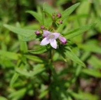 Long-leaved Houstonia (Houstonia longifolia)