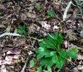Male Fairy Wand (Chamaelirium luteum)