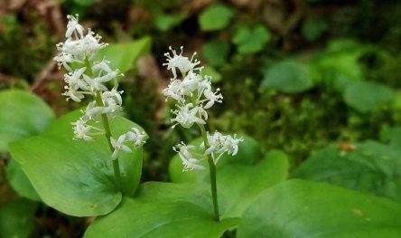 Canada Mayflower (Maianthemum canadense)