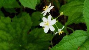 American Umbrellaleaf (Diphylleia cymosa)