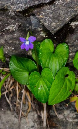 Mystery Violet?