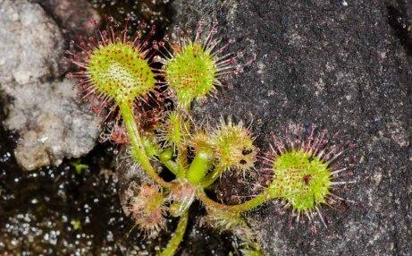 Roundleaf Sundew (Drosera rotundifolia)