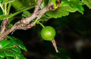 Gooseberry (Ribes sp.) Fruit