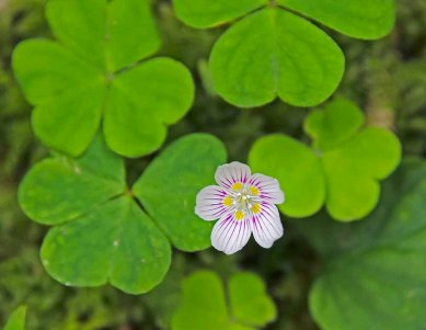Mountain Wood Sorrel (Oxalis montana)