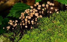 Pinwheel Mushroom (Marasmius rotula)