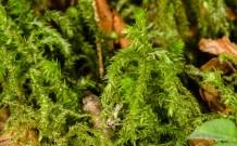 Possibly Schreber's Big Red Stem Moss (Pleurozium schreberi)